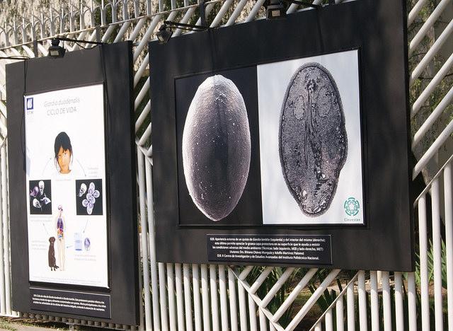 Las maravillas del mundo microscópico Está conformada por más de medio centenar de imágenes de gran formato generadas a lo largo de años de investigación por el Departamento de Infectómica y Patogénesis Molecular del Cinvestav. Foto: Cinvestav/Divergente.info